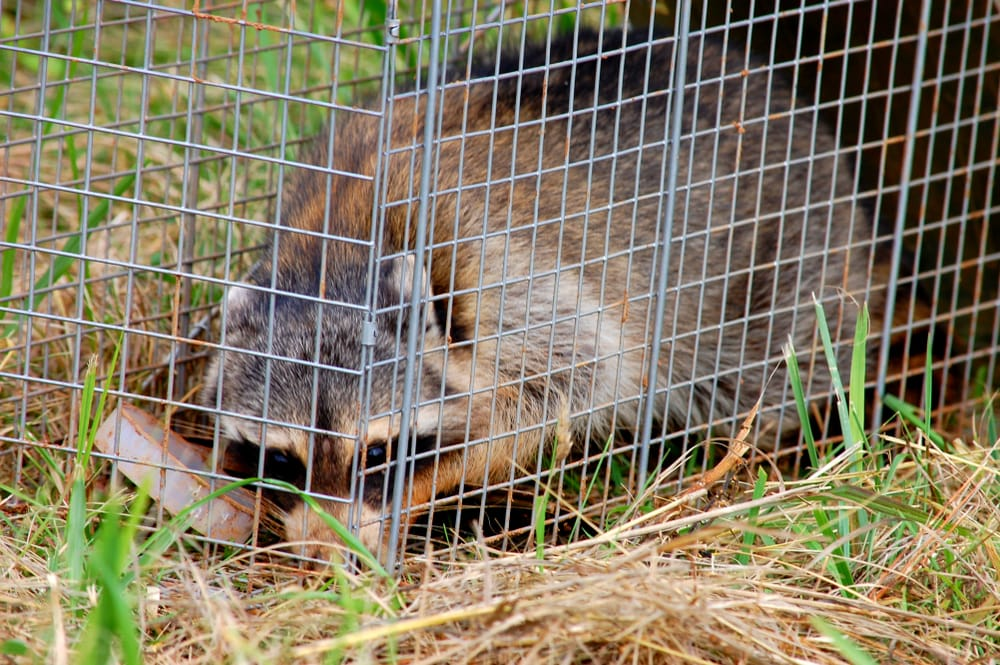 What Does A Wildlife Removal Technician Do?
